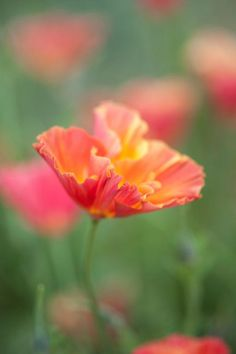Eschscholzia californica, 'Thai Silk' Series, 'Apricot Chiffon' Seeds from Chiltern Seeds - Chiltern Seeds Secure Online Seed Catalogue and Shop Orange Poppy, Orange Flowers, Cut Flowers, Silk Flowers, Tree Identification, Seed Catalogs, California Poppy, Fall Plants, Types Of Soil