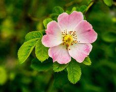 Rosa Rose, Birth Flowers, Evening Primrose, Passion Flower, Healing Herbs, Love Symbols, Medicinal Plants, Ancient Art, Rose Petals