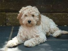 cockapoo - Reminds me of our family dog Cookie!