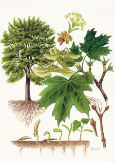 Science Illustration, Tree Illustration, Tree Leaf Identification, Plant Fungus, Vintage Botanical Prints, Nature Tree, Horticulture, Trees To Plant, Planting Flowers