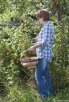Frau pflückt mit einem Spankorb in der Hand Himbeeren im Garten