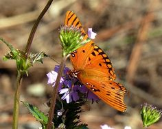 Fall Butterfly Garden Tasks  Gulf Fritillary on Verbena by Jill Staake