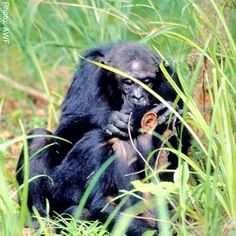Grooming is the single most important social activity of chimpanzees, taking up a large chunk of daily rest periods. This is when chimps nourish friendships, comfort one another, and patch up disagreements.