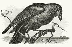 raven on branch silhouette - Google Search