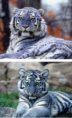 This is a Maltese tiger! It's a FRIKEN blue tiger! It's so pretty, and ...