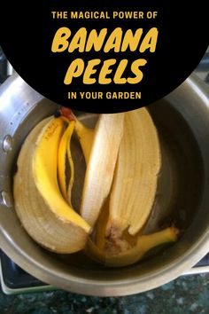 Banana peels are a good source of nutrients—as most kitchen scraps are—and that's why they are all a welcome addition to our compost piles. Fresh banana peels contain roughly 19 mg of calcium, supp… Home Made Fertilizer, Fertilizer For Plants, Liquid Fertilizer, Banana Peel Uses, Banana Peels, Banana Water, Banana And Egg, Kill Weeds Not Grass, Orchid Food