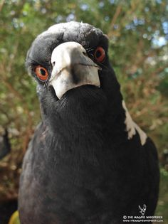 A young Australian magpie, still with a greyish tinge to its feathers, is curious about the camera. Australian Icons, Australian Animals, All Birds, Weird Birds, Bird Toys, Bird Pictures, Colorful Birds, Animal Photography, Australian Photography