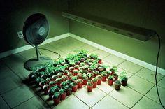 Marijuana Systems For Indoor Growing