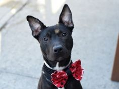 IAM SAFE THANK YOU.    SUPER URGENT  03/02/16 I NEED A HOME LAMMIE – A1064870  **RETURNED  03/02/16**  NEUTERED MALE, BLACK / WHITE, AM PIT BULL TER MIX, 1 yr, 1 mo RETURN – EVALUATE, HOLD RELEASED Reason NO TIME Intake condition EXAM REQ Intake Date 03/02/2016, From NY 11226, DueOut Date 03/02/2016  Medical Behavior Evaluation No Initial Behavior Medical Summary No Initial Exam
