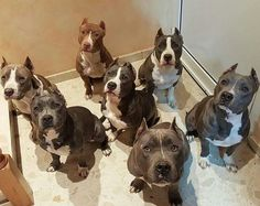 See more at https://mypupboutique.com/collections/pit-bull