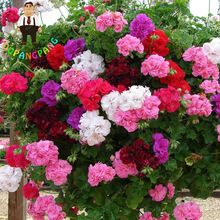 Cheap planting geraniums, Buy Quality geranium seed directly from China flower seeds Suppliers: Rare Mix colour geranium seed bonsai flower seeds Pelargonium Peltatum Seeds potted plant geranium for home garden Container Flowers, Container Plants, Container Gardening, Succulent Containers, Vegetable Gardening, Hanging Flower Baskets, Hanging Plants, Indoor Plants, Balcony Plants