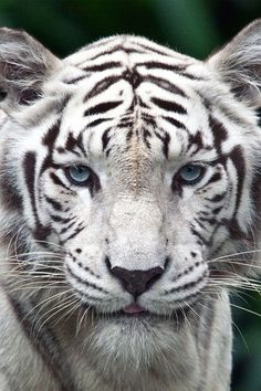 Funny Wildlife, animals-are-hype: White Tiger Beautiful Cats, Animals Beautiful, Beautiful Pictures, Regard Animal, Animals And Pets, Cute Animals, Wild Animals, Exotic Animals, Baby Animals
