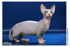 6 Strange Breeds of Hairless Cats : Bambino Cat- pretty-though I usually think the hairless cats are Uuuugggglllyyy.