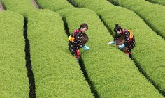 Picking #tea by hand, quality in every cup!