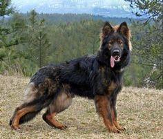 Black Sable German Shepherd | Photo: www.candlehillshepherds.com