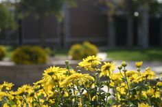 Beautiful mums on the Bethany College campus. Photo by Stephanie McDowell