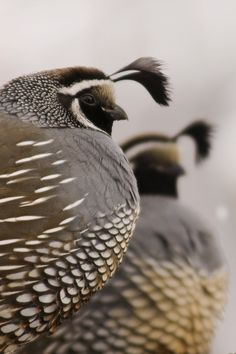 California Quail watching guard as the rest of the covey eat. byeaross submitted by earth-song