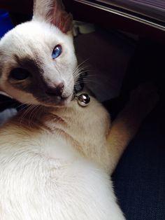 Modern siamese cat kitten- always with the same elegance