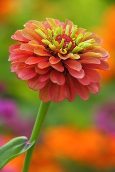 Definitely going to plant zinnia flowers next spring! Beautiful Flowers Garden, Flowers Nature, Exotic Flowers, Amazing Flowers, My Flower, Pretty Flowers, Colorful Flowers, Flower Power, Trees To Plant