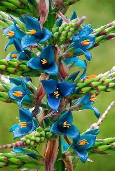 Puya Bromeliad | Backyards Click