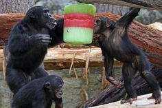 Midlife Monkey Crisis: Great Apes Hit Hard Knocks Too