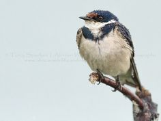 There are days you should just not be outside without an umbrella - White-Throated Swallow - Rietvlei Nature Reserve -South Africa