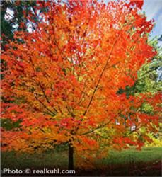 Sugar Maple - Acer saccharum; resistant to damage; 60' to 75' high w/45' spread; fall landscape standout