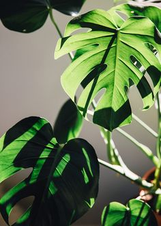 Is it a Monstera. Plant Aesthetic, Plants Are Friends, Photo Journal, Green Plants, Wall Collage, Aesthetic Wallpapers, Houseplants, Indoor Plants, Planting Flowers