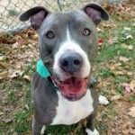 CHAMP – A1072693  ***RETURNED 05/13/16***  NEUTERED MALE, BR BRINDLE / WHITE, AM PIT BULL TER MIX, 7 mos RETURN – ONHOLDHERE, HOLD FOR ID Reason TOO BIG Intake condition UNSPECIFIE Intake Date 05/13/2016, From NY 11222, DueOut Date 05/13/2016 http://nycdogs.urgentpodr.org/champ-a1072693/