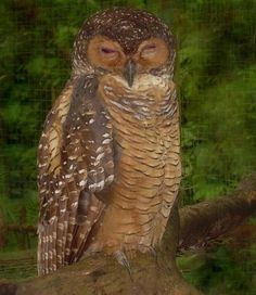 Palawan scops owl (Otus fuliginosus) Owl Pics, Owl Pictures, Owl Species, Palawan, Cute Owl, Birds Of Prey, Beautiful Birds, Drawing Reference, Besties