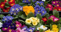 Primeln sorgen mit ihren fröhlich bunten Blüten schon früh im Jahr für gute Laune. Hier lesen Sie alles über die verschiedenen Arten, ihre Pflanzung und Pflege.