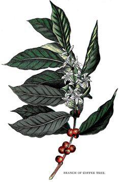 Coffee Illustration, Tattoo Illustration, Plant Illustration, Botanical Illustration, Tattoo Cafe, Tree Branch Tattoo, Coffee Gallery, Bialetti, Coffee Artwork