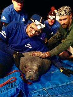 Flórida, fevereiro de 2015 - A equipe de Animal Rescue do SeaWorld, juntamente com oficiais do governo e moradores de uma área residencial em Satellite Beach, na Flórida, trabalhou durante a madrugada da última terça-feira para resgatar 19 peixes-bois que ficaram presos em um cano...