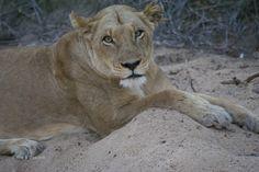 Leonessa al Kruger National Park