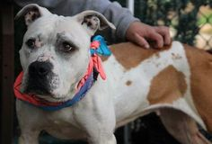 QUEEN LIZ - A1107533 - - Staten Island  TO BE DESTROYED 04/13/17: ****CAN BE PUBLICLY ADOPTED**** -  Click for info & Current Status: http://nycdogs.urgentpodr.org/queen-liz-a1107533/