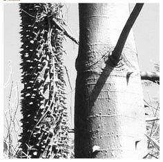 kapok trunk, cypress gardens, florida Cypress Gardens, Utility Pole, Florida, The Florida