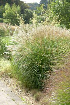 Silver Grass 'Little Kitten' • Miscanthus sinensis 'Little Kitten' • Morning Light 'Little Kitten' • Plants & Flowers • 99Roots.com