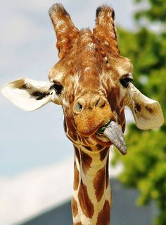 girafa hilária