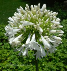Raleigh Botanical Gardens Visit - White Lily of the Nile Agapanthus