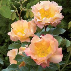 FIGHTING TEMERAIRE — английская современная кустовая роза