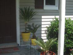 My sago palm trees