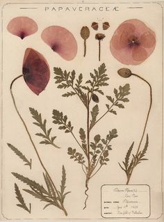 Herbarium specimen of common poppy, Papaver rhoeas, collected 1895 by Frances Giles, a pharmacist, near Folkestone, Kent. Image: Royal Botanical Garden, Kew.
