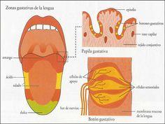 lengua anatomia - Buscar con Google