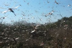 Argentina Scrambles to Fight Biggest Plague of Locusts in 60 Years - The New York Times