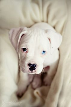 Brown eyed, blue eyed dog