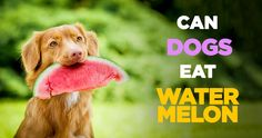 Did you know that dogs can eat fruit? But, what fruits can dogs eat? In this AnimalWised video we talk about the benefits of fruit for dogs and explain which. Can Dogs Eat Apples, Fruits For Dogs, Fruit List, Eat Fruit, Can Dogs Eat Watermelon, Fruit Benefits, Education Canine, Dog Nutrition, Dog Health Care