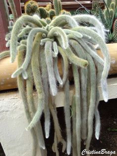 O cacto rabo de macaco pertence a família cactaceae, nativo da Bolivia, perene, com ramos pendentes de até 1 metro. Ramos revestidos em finos espinhos......