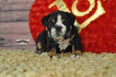 english bulldog puppy  www.englishbulldogpuppychase.com