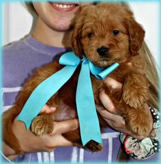 Check out our list of all upcoming Goldendoodle litters and Double Doodle litters below. Please fill out the puppy application and we will contact you. Toy Goldendoodle, Goldendoodles, Double Doodle, Scooby Doo, Breads, Puppies, Character, Bread Rolls, Cubs
