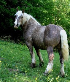 Akiro, pictured, is a Comtois - Draft breed that originated from France    Dappled Grey draft   black silver Draft